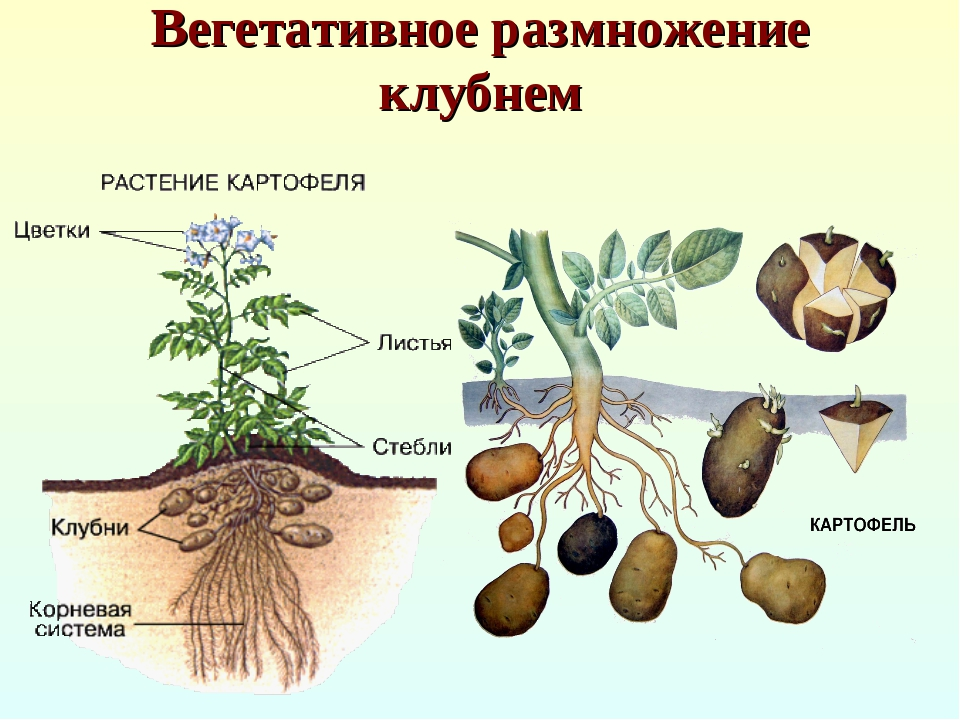 Способы размножения картофеля Романо