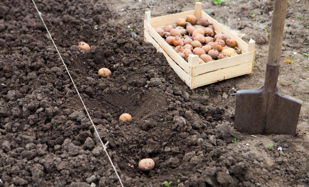 Сроки и правила посадки картофеля