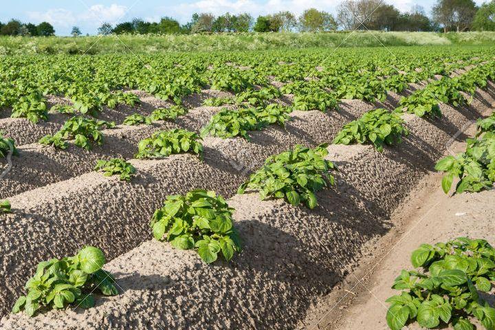 Технология выращивания картофеля Романо — Голландская