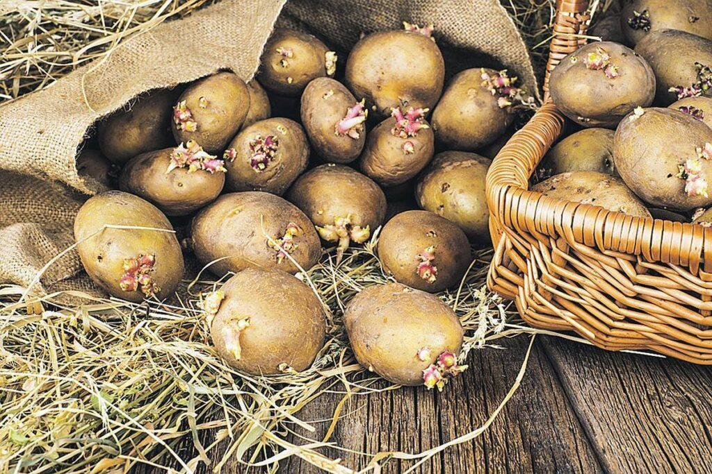 Тонкости выращивания картофеля