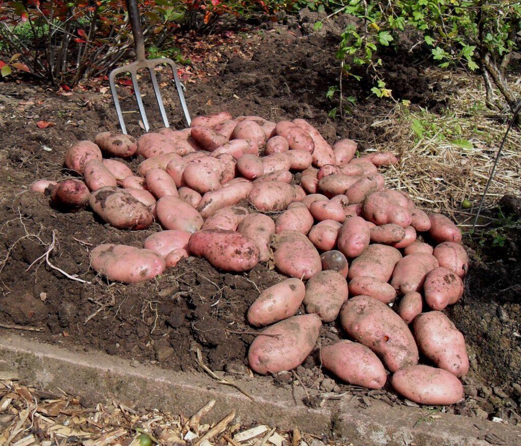 Урожай картофеля Сарпо Мира