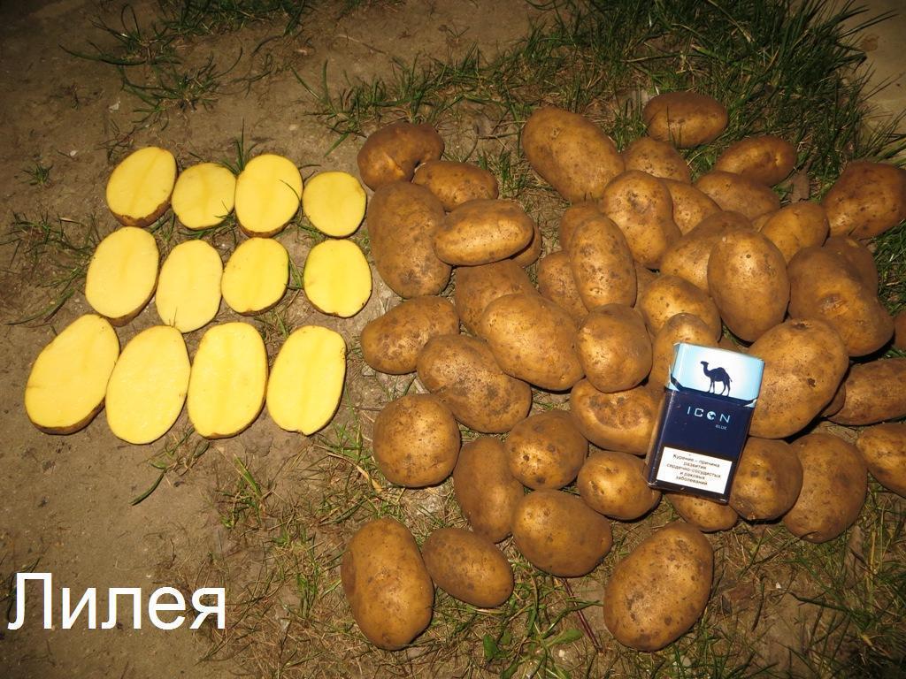 Урожайность и вкусовые качества