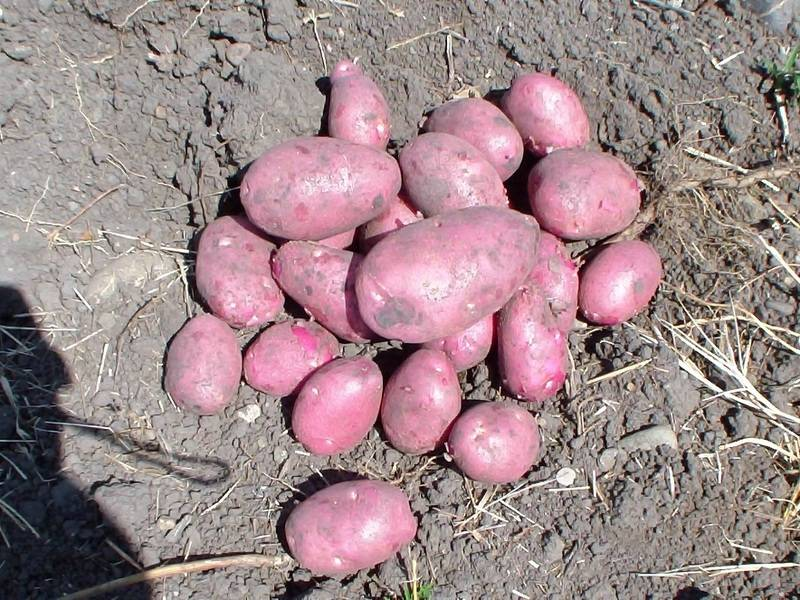 Урожайность Романо