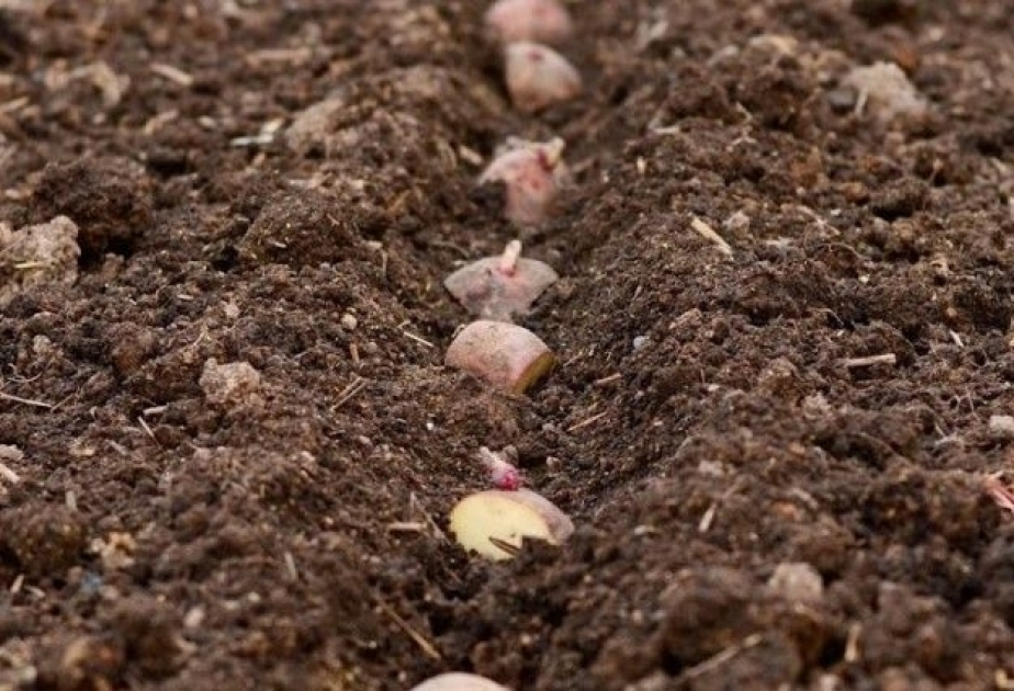 В какую почву высаживают Белларозу
