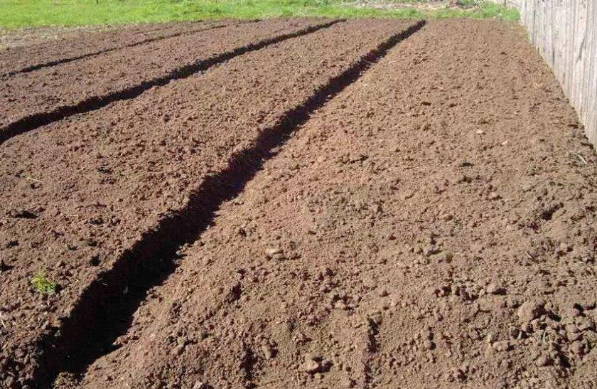 Выбор и подготовка посадочного участка под картофель