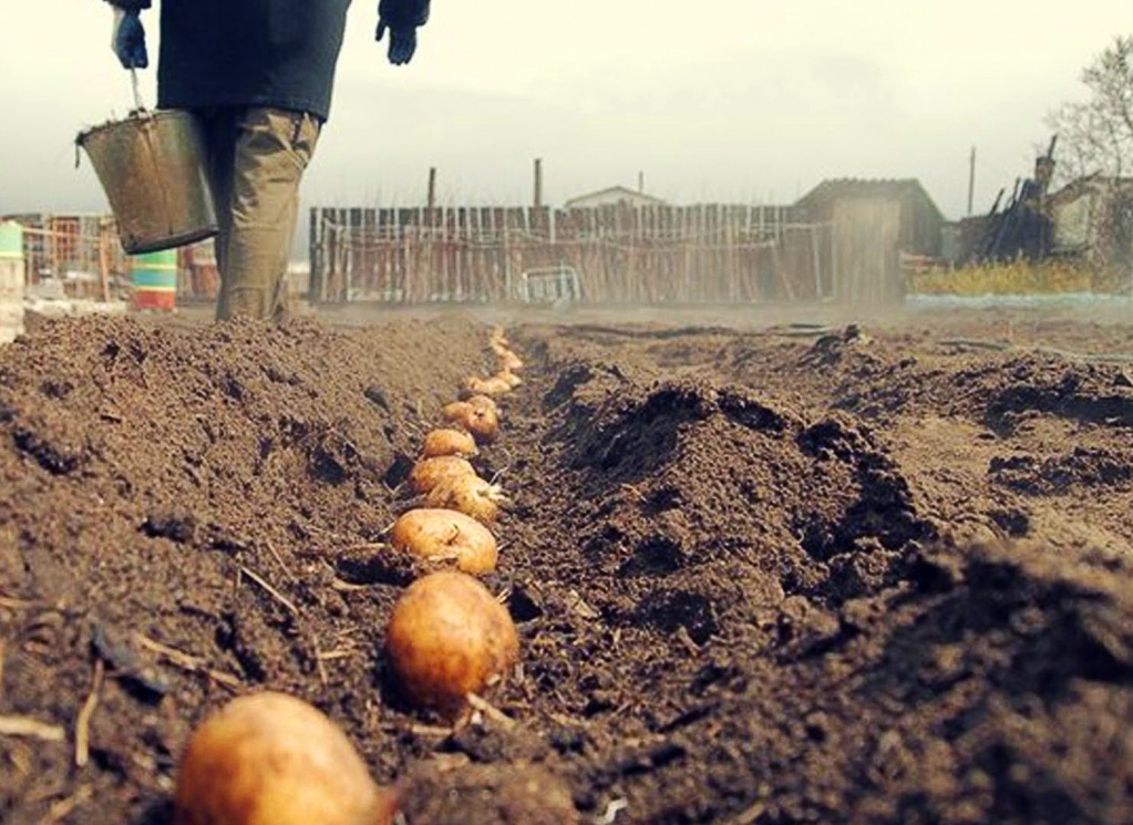 Выбор места под посадку картофеля