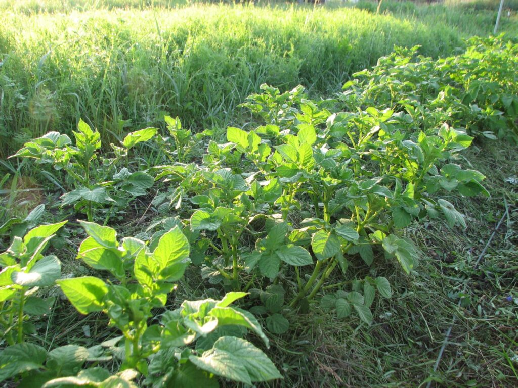 Засухоустойчивость картофеля