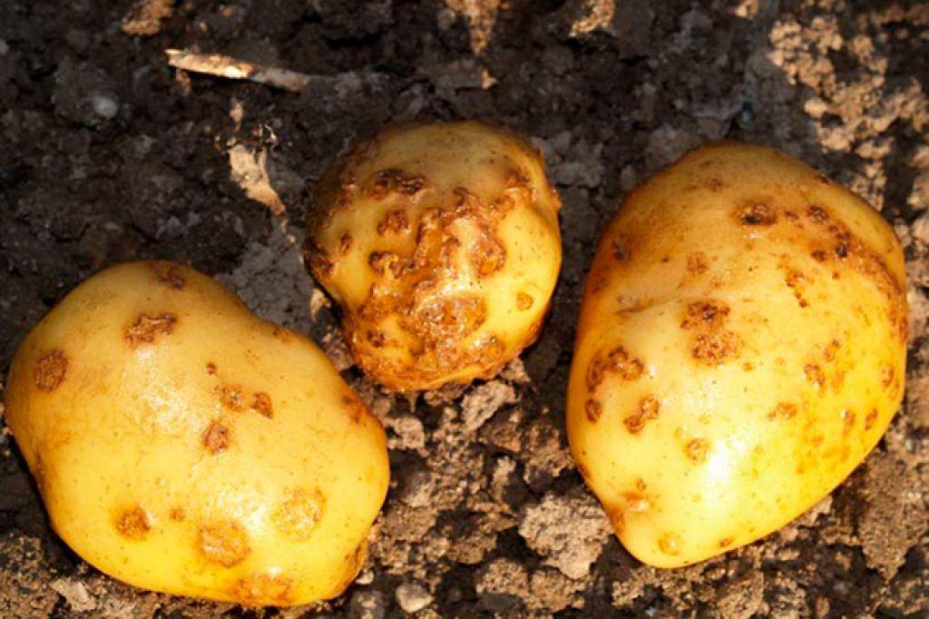 Золотистая нематода картофеля
