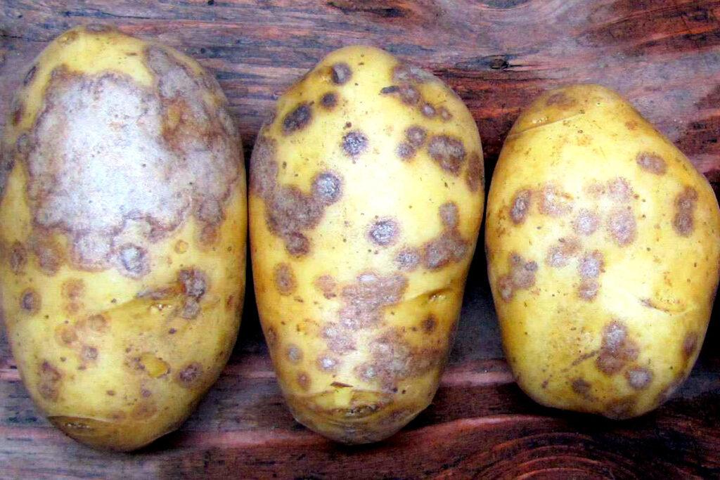 Грибковое заболевание картофеля