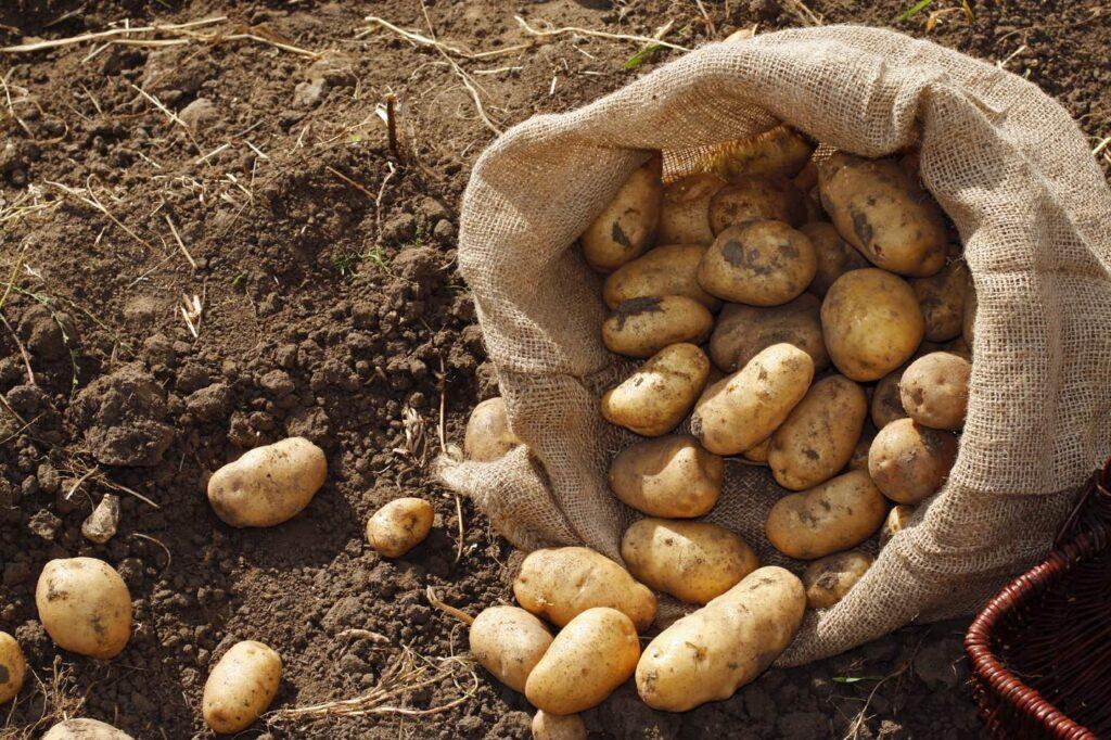Сбор урожая картофеля Каратоп