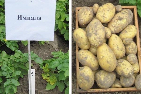 Как появился картофель Импала