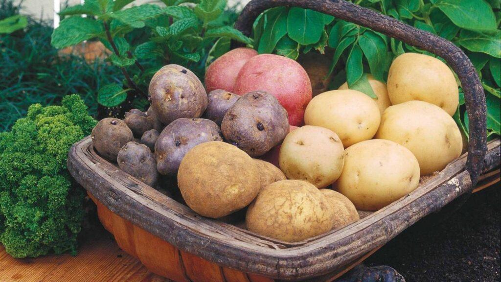 Картофель для Подмосковья