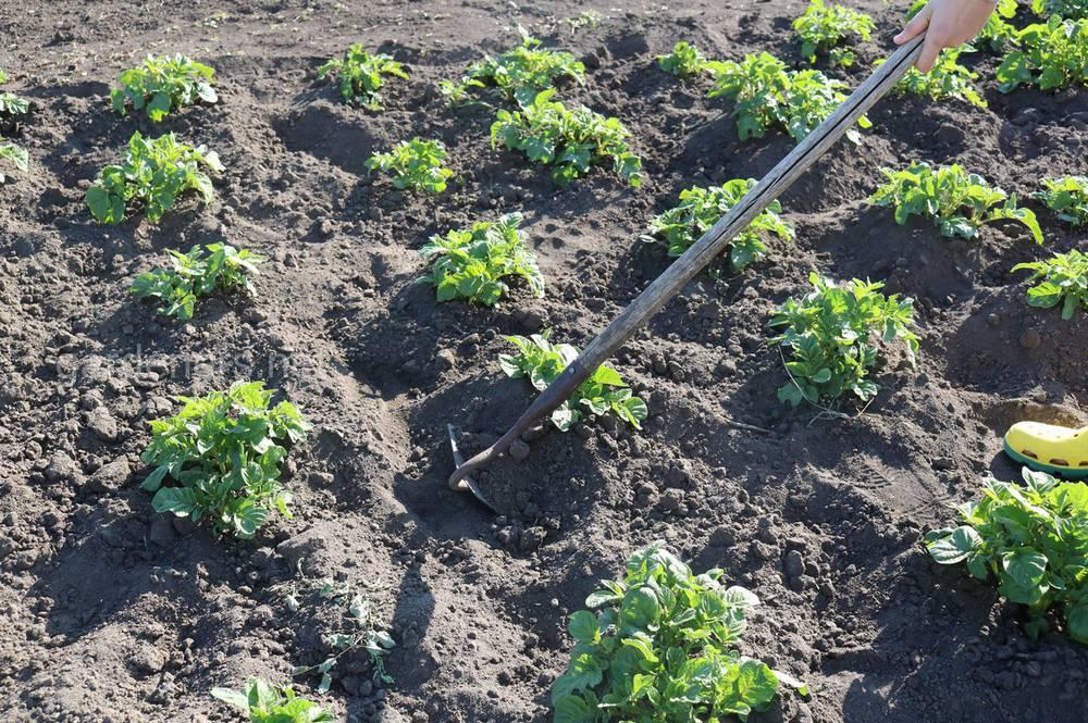 Окучивание позднего картофеля