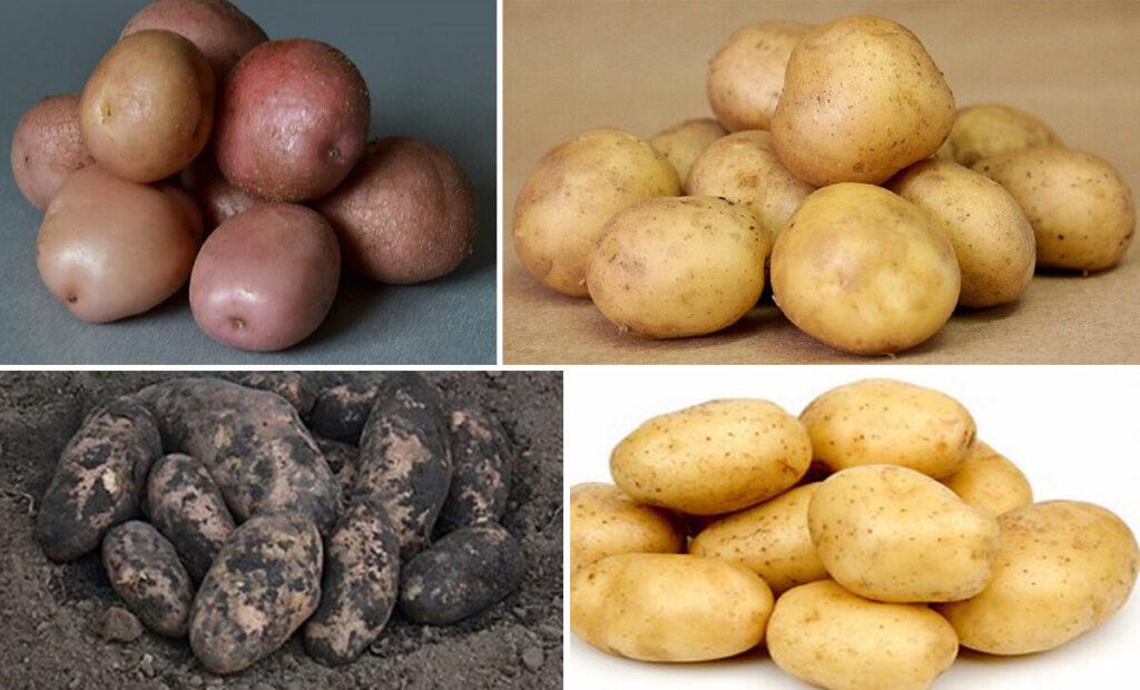 Особенность ранних сортов картофеля