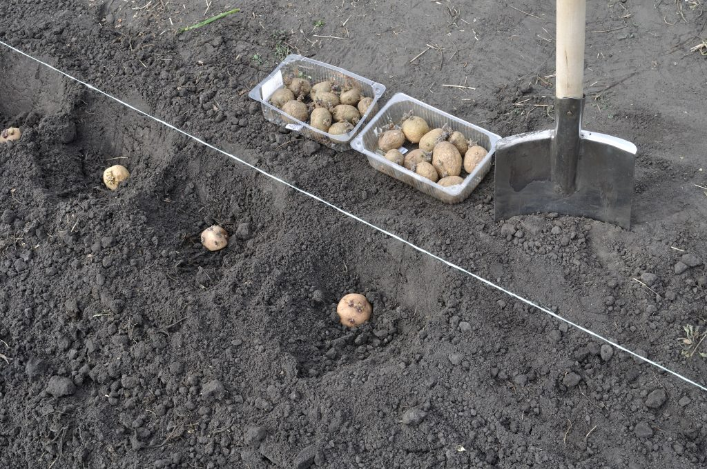 Посадка позднего картофеля