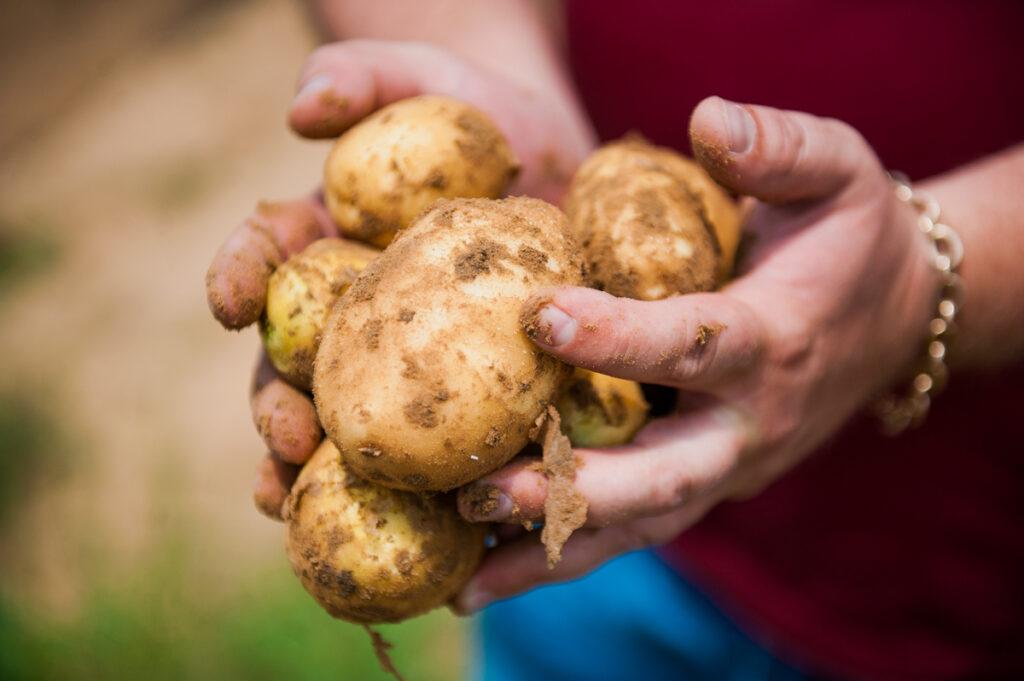 Урожай картофеля сбор