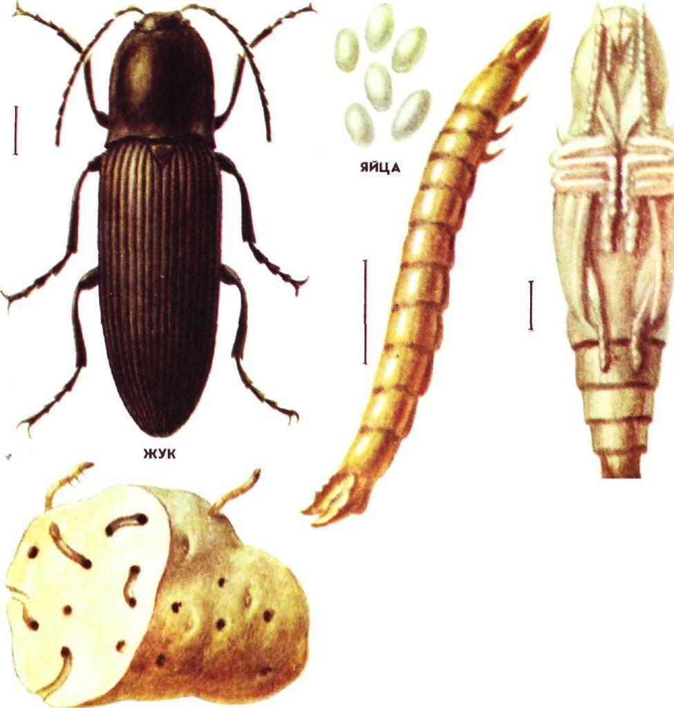 Вредитель жук щелкун