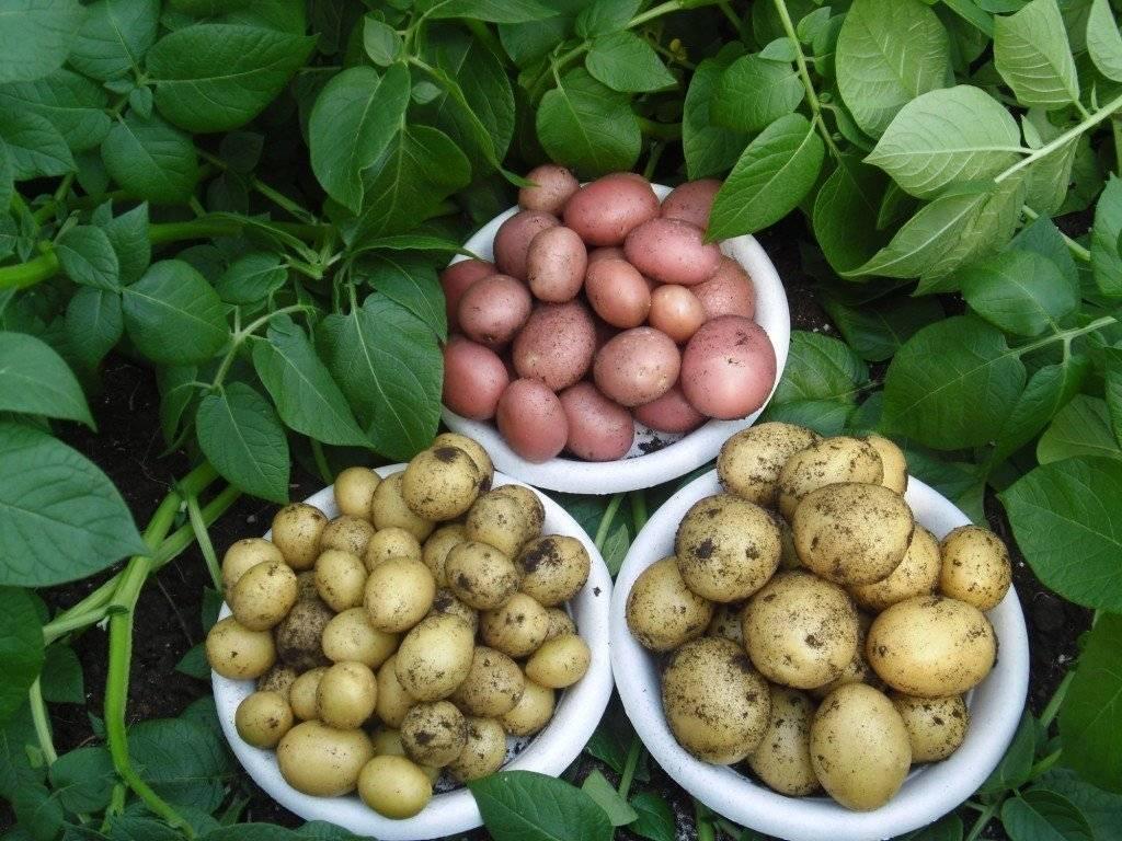 Выбрать ранний картофель